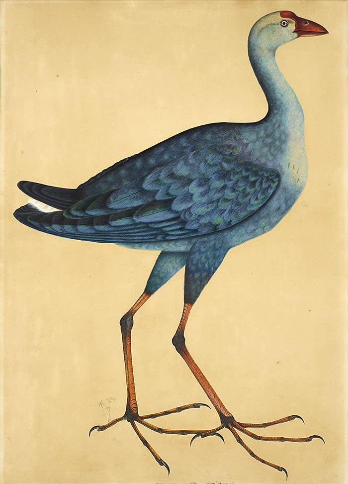 Beddington, Charles Beddington Fine Art - School of Calcutta, c.1810, Eight Watercolours of Birds,Grey-headed Swamphen (Porphyrio poliocephalus, Watercolour and pencil on paper - LAW19S (1)
