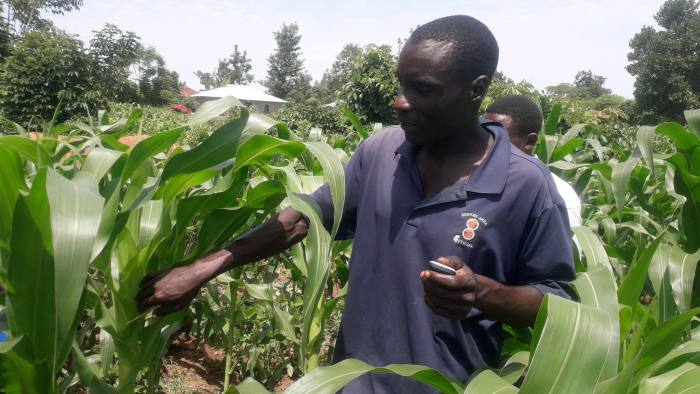 Farmer using Precision Agriculture for Development's SMS platform to assess the level of Fall Armyworm infestation on his field in Western Kenya. Press image
