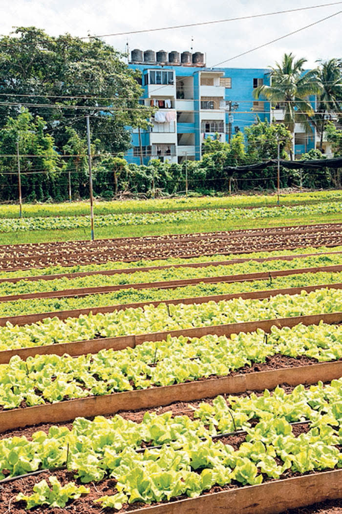 Rows of vegetables at an organic farm, Havana, Cuba. (Photo by: Education Images/UIG via Getty Images)