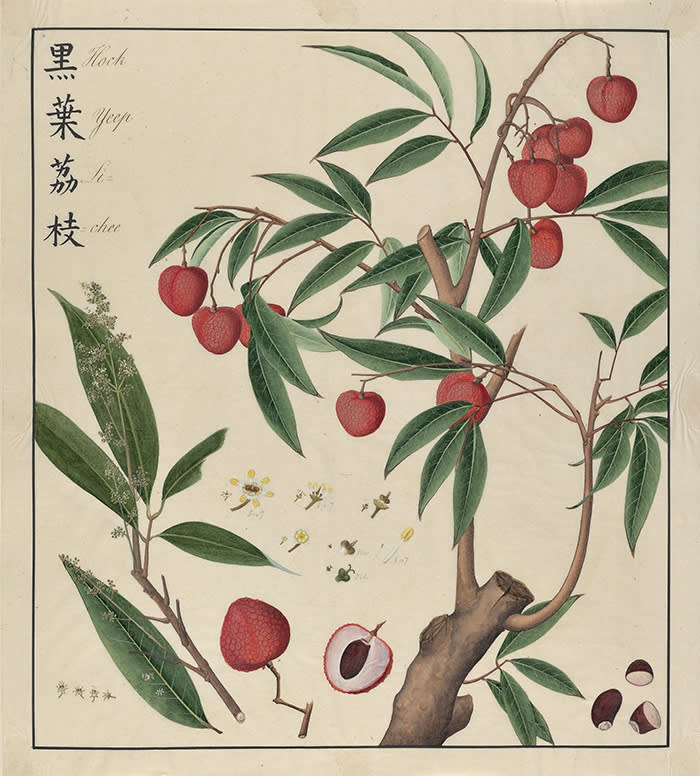 """. """"Hock Yeep Li-chee"""" - Litchi - painted by a Chinese artist in Canton ca. 1770 in collaboration with John Bradby Blake. © The Oak Spring Garden Foundation. [Litchi sinensis, Sapindaceae OSGF, JBB, 1:11]"""