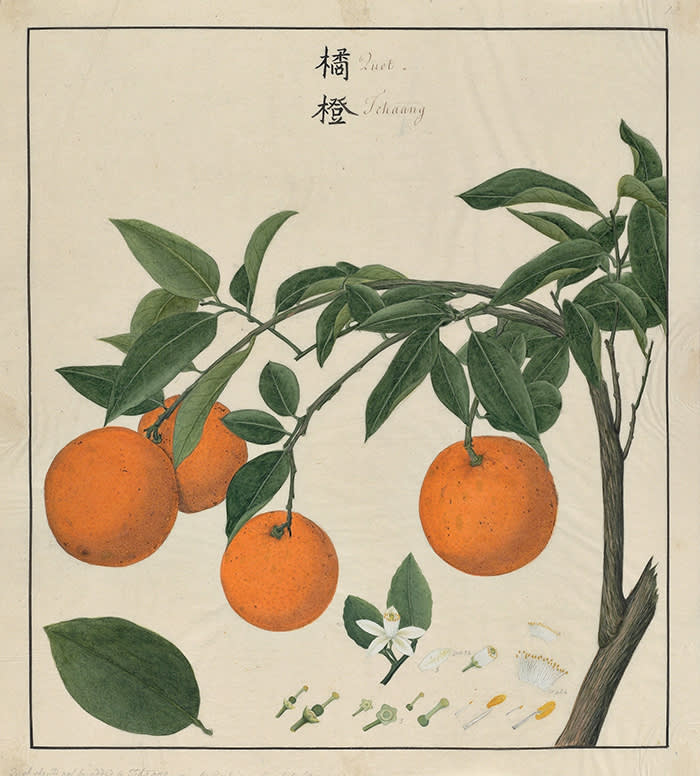 """""""Quot Tchaang"""" - Orange - painted by a Chinese artist in Canton ca. 1770 in collaboration with John Bradby Blake. © The Oak Spring Garden Foundation. [Citrus sinensis, Rutaceae, OSGF, JBB, 1:18]."""