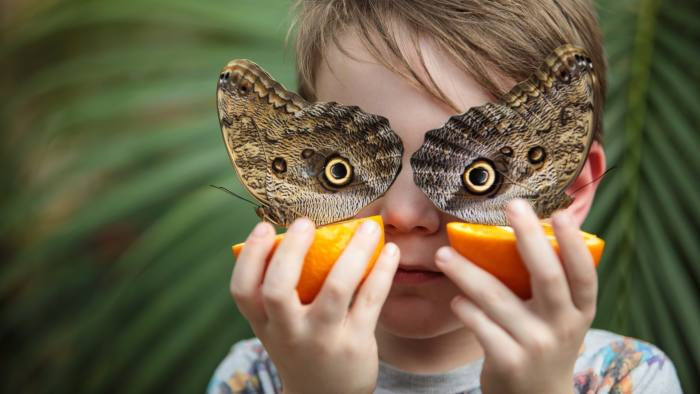 LONDON, ENGLAND - MARCH 30: George Lewys, age 5, poses with two Forest Giant Owl butterflies (Caligo eurilochus) sat on slices of oranges at the Natural History Museum on March 30, 2017 in London, England. The Natural History Museum's Butterfly House, which features an array of butterflies and chrysalises, is open to the public from March 31, 2017. (Photo by Jack Taylor/Getty Images)