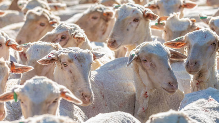 Australian Drought - Pooginook Farm near Griffith. Picture shows: sheep leaving the woolshed after shearing