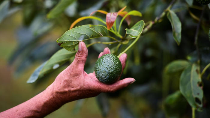 Farmer Alfonso Trujillo looks at avocados at his orchard in the municipality of Uruapan, Michoacan State, Mexico, on October 18, 2016. With the United States buying most of the Mexican avocado production and the domestic demand constantly growing, the price of avocados in Mexico is suffering frecuent increases. / AFP / Ronaldo SCHEMIDT / TO GO WITH AFP STORY BY JENNIFER GONZALEZ COVARRUBIAS (Photo credit should read RONALDO SCHEMIDT/AFP via Getty Images)