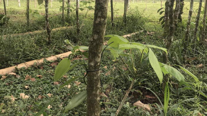 Vanilla plants - a form of orchid - grow among trees in what was once deforested pasture land in Guápiles, Costa Rica, January 8, 2020. Photos by FT journalist Jude Webber.