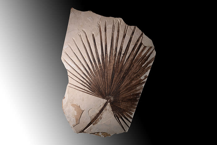 A giant palm frond fossil. With no restorations. 50 million years old, found in Wyoming, USA. Courtesy of Art Ancient
