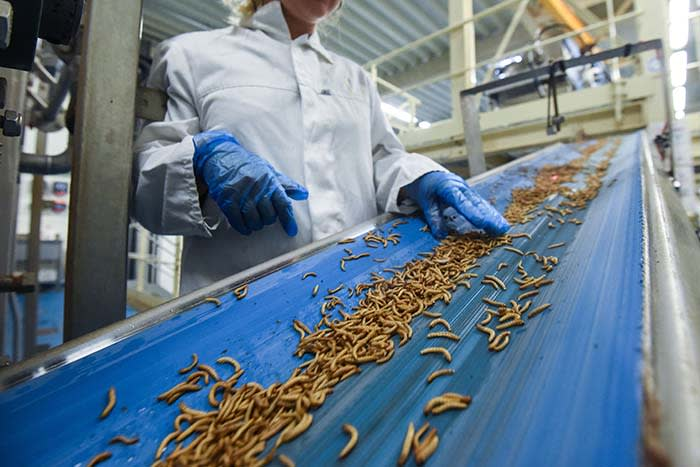 """An employee checks worms before they are being turned into protein powder at the """"Ynsect"""" experimental insect farm in Dole, eastern France, on February 8, 2018, a facility that produces premium proteins natural ingredients for aquaculture and pet nutrition. / AFP PHOTO / SEBASTIEN BOZON (Photo credit should read SEBASTIEN BOZON/AFP via Getty Images)"""
