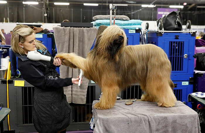 Jambo, a Briard breed, is groomed in the benching area on Day One of competition at the Westminster Kennel Club 142nd Annual Dog Show in New York, U.S., February 12, 2018. REUTERS/Shannon Stapleton TPX IMAGES OF THE DAY