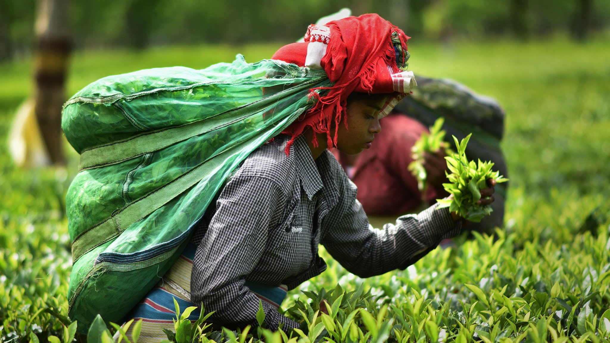 India's tea growers scalded as US sanctions hit Iran