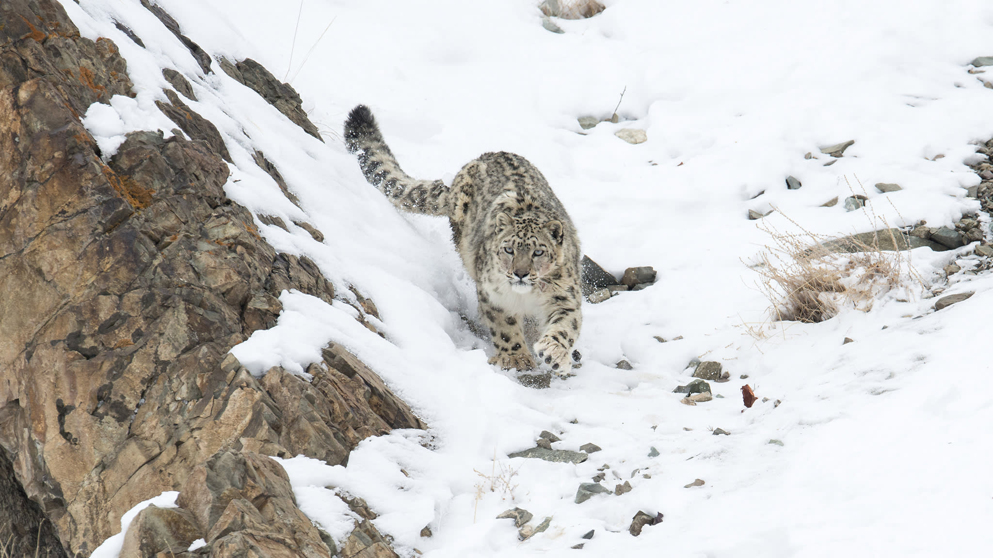 A glimpse of the 'grey ghost': spotting snow leopards in Ladakh