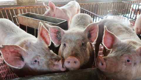 African swine fever has hit the Chinese pork industry just as it tries to make up for high tariffs on American imports of the meat.
