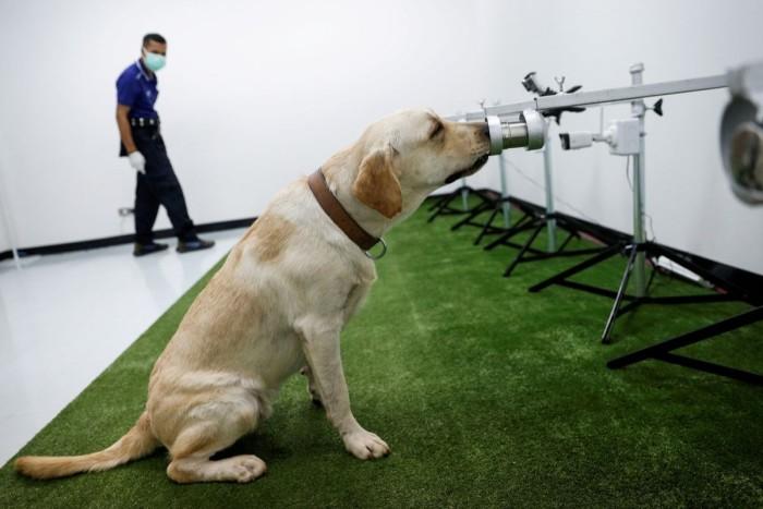 A dog trained to sniff Covid-19 screens a sweat sample at Chulalongkorn University in Bangkok