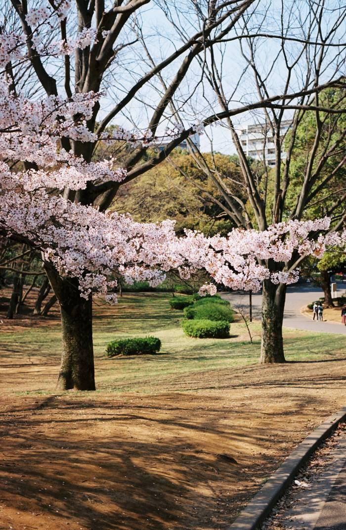 Yoyogi Park is usually one of Tokyo's most popular hanami spots