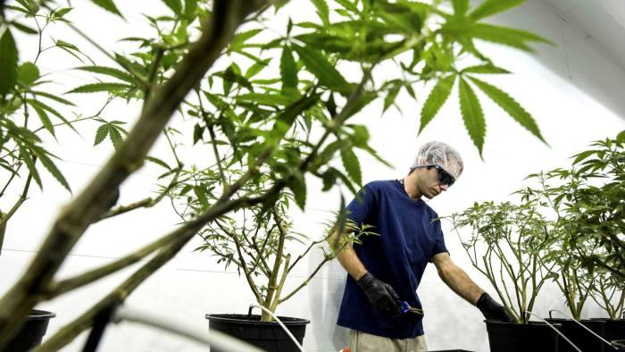 Harvesting cannabis at Canopy