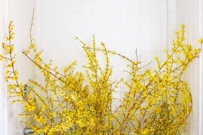 Forsythia (blooming) by Cig Harvey, from Blue Violet
