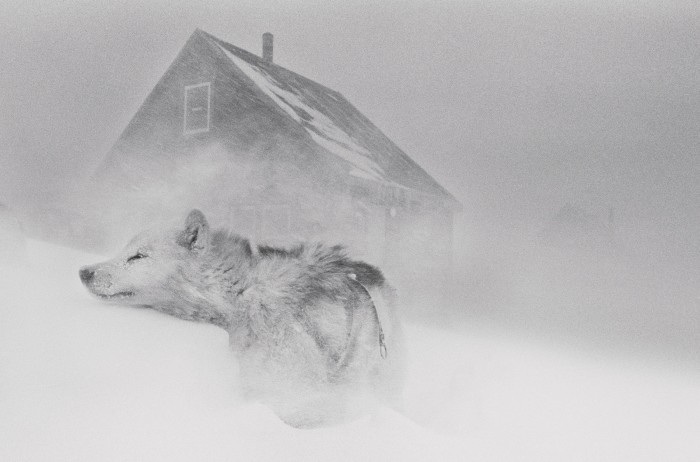 A sled dog in a storm in the Ittoqqortoormiit settlement, east Greenland, 1995