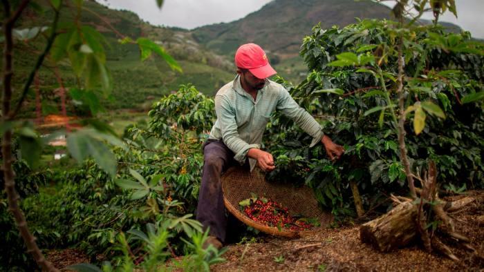 A farmer gathers coffee beans in Espírito Santo state