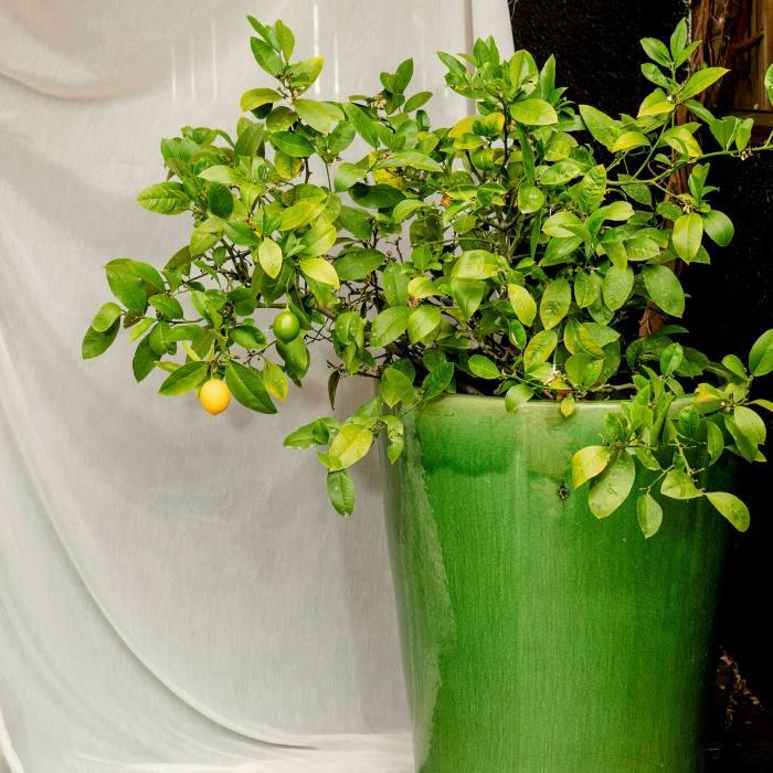 A lemon tree, which produces caffeine