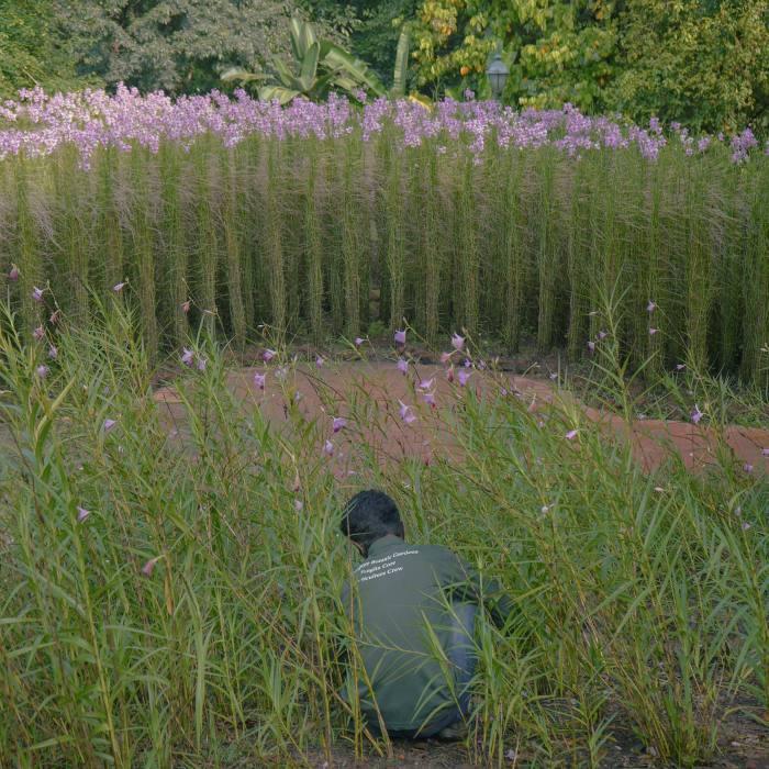 A gardener tending rows of Papilionanthe Miss Joaquim orchids