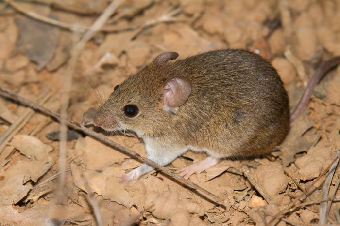 The African multimammate mouse, which can spread Lassa fever and thrives in degraded landscapes