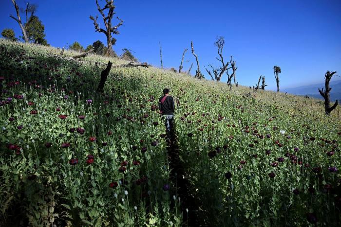 A farmer works an illegal poppy field in Hopong, Shan state