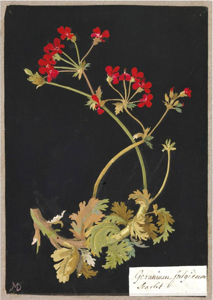 """P. Fulgidum"" The Scarlet Geranium, 1755, by Mary Delany"