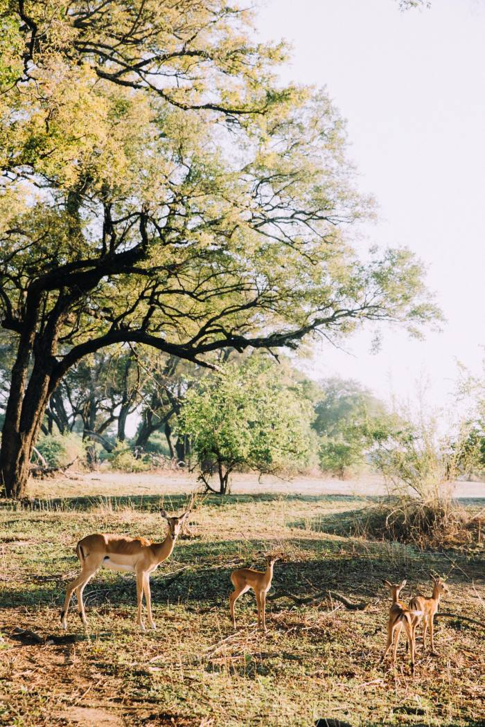 Impala in Zambia, on a safari with African Bush Camps