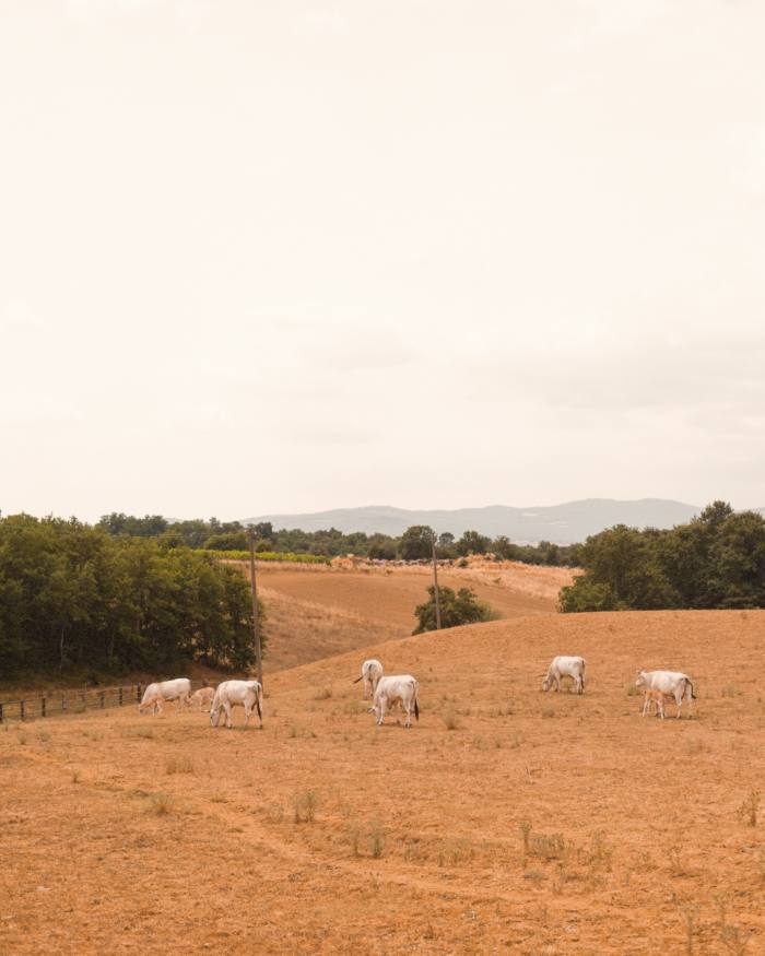 The Chianina, one of the oldest cattle breeds in Tuscany