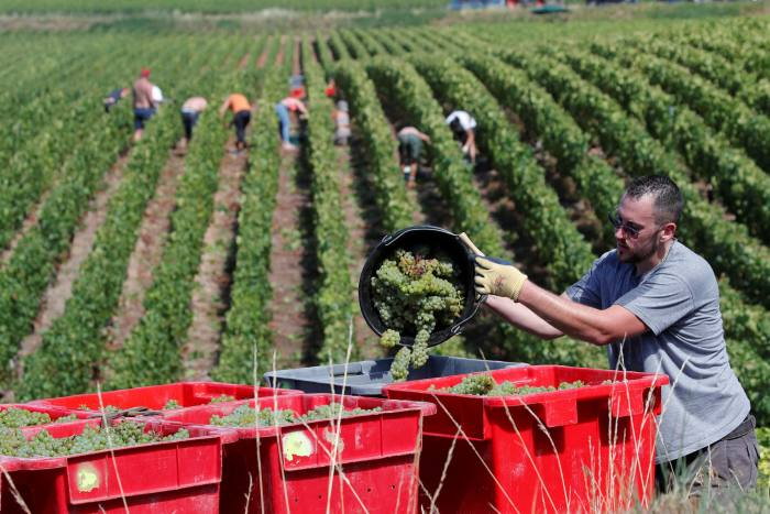 The picture shows workers harvesting vineyards in the Champagne region of France