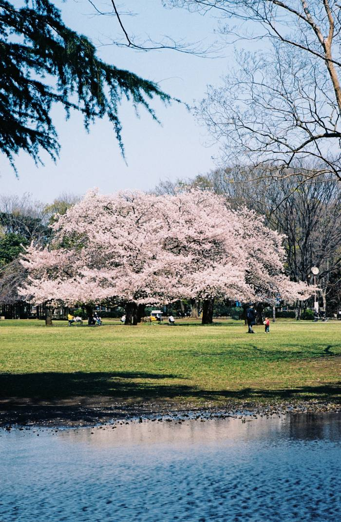Kinuta Park in Tokyo is famous for the sakura displays in its 96 acres