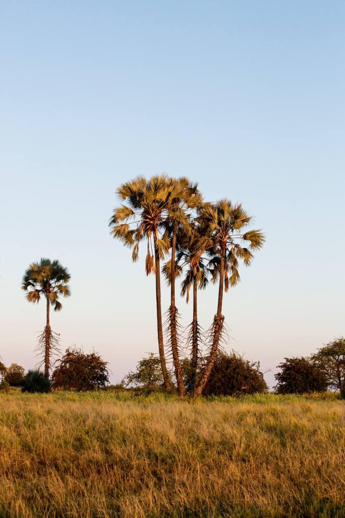 A clusterof mokolwanepalm trees
