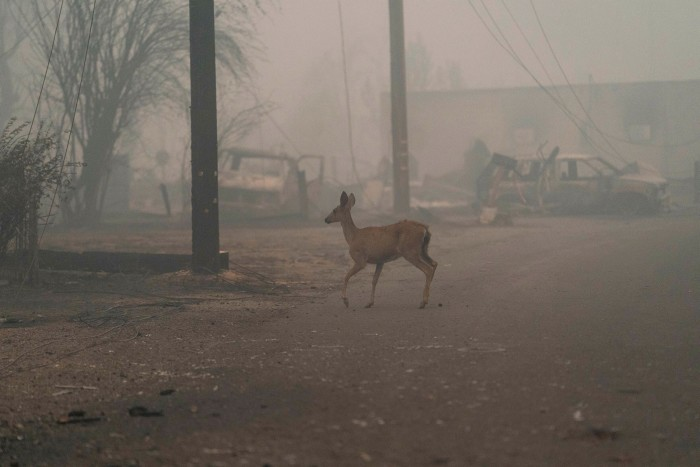 A deer runs through the ruins of homes burnt in the Dixie fire in Greenville, California, August  2021