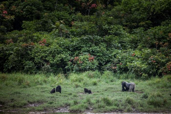 Western lowland gorillas at Langoue Bai in the Ivindo national park. Some 30,000 gorillas live in Gabon