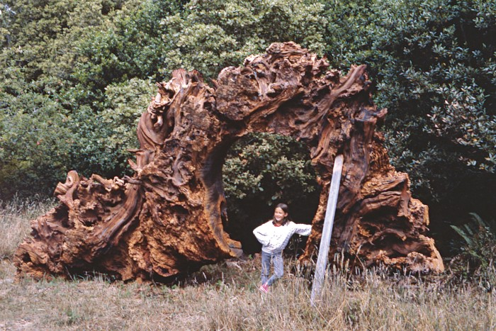 Mariah Nielson with a redwood burl, c1985
