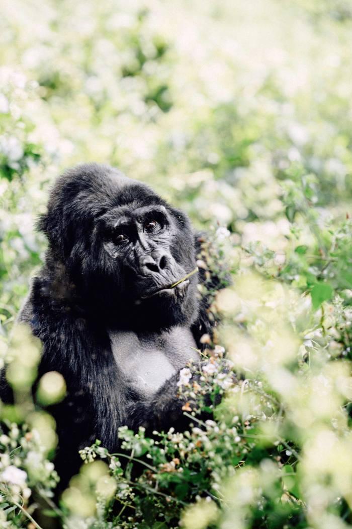 Asilverback gorilla in Bwindi Impenetrable National Park, Uganda