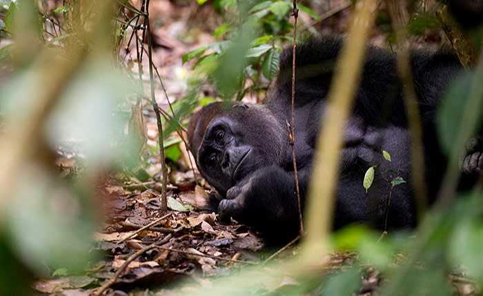 A Western lowland gorilla in the Dzanga-Sangha reserve; researchers are taking care to wear masks around the great apes, who could be at risk of catching Covid-19 from humans