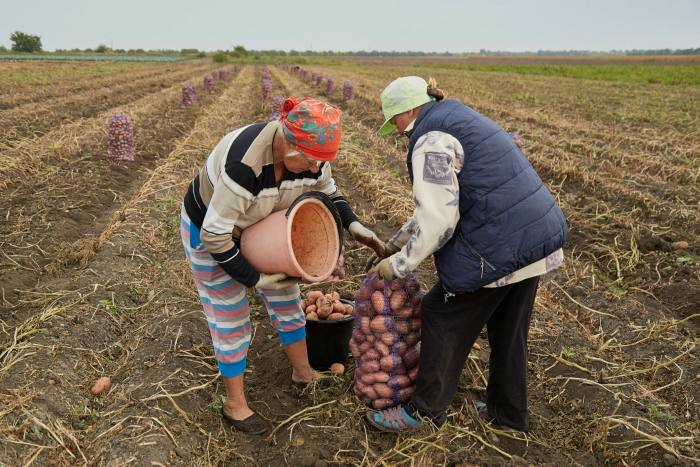 Workers collect potatoes on the North Crimean Canal