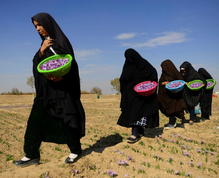 Afghan women carry saffron flowers