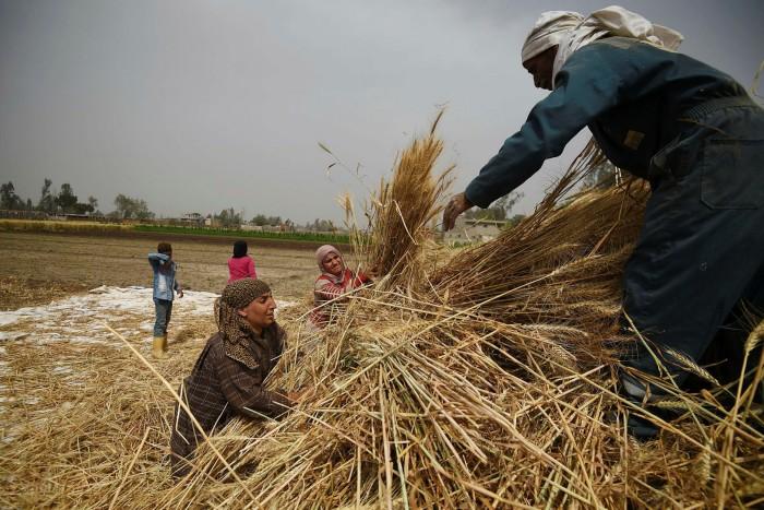 Egyptian farmers harvest wheat in Saqiyat al-Manqadi village in the northern Nile Delta