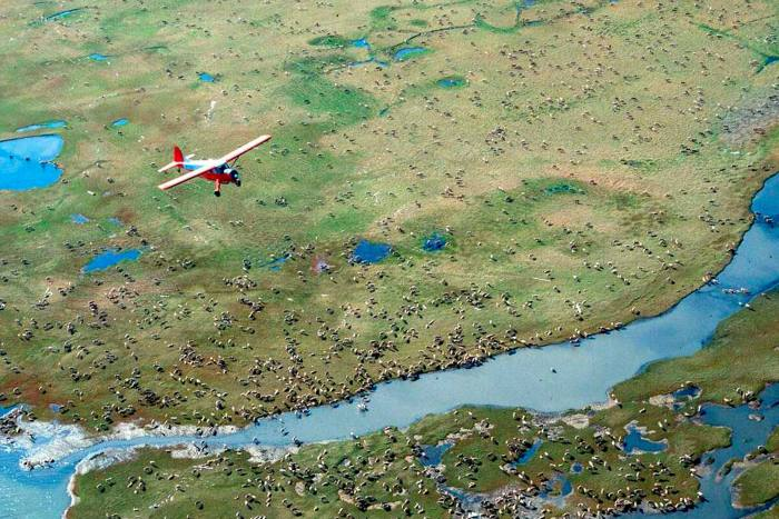 An airplane flies over caribou at the Arctic National Wildlife Refuge