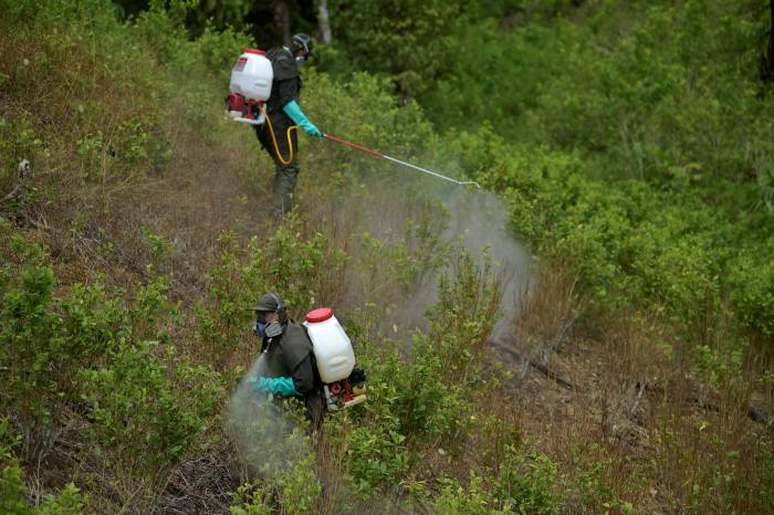 Coca plants are sprayed with herbicide at an illegal coca crop in Tumaco, Nariño province, in February last year