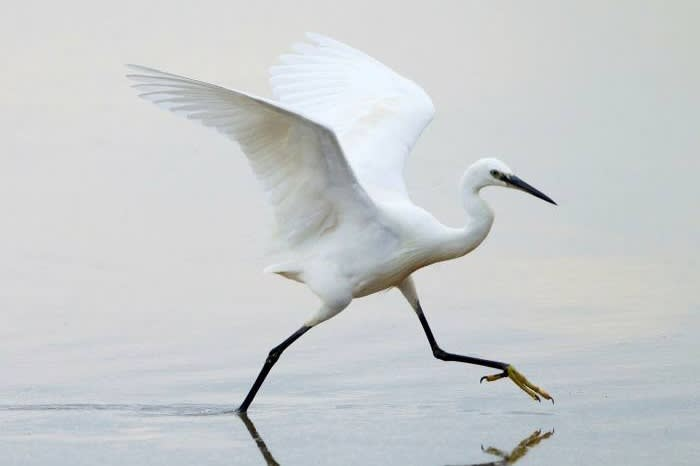 The graceful little egret is increasingly spotted on London's urban waterways