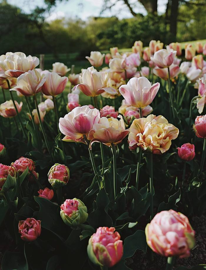 April tulips 'Copper Image' and 'Belle Epoque'
