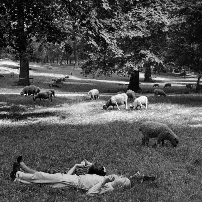 Until the 1950s, sheep grazed on London's Royal Parks — a tradition reintroduced in recent years by Green Park for a week in August