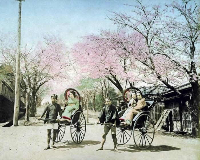 Cherry blossom and rickshaws in 1890s Yokohama