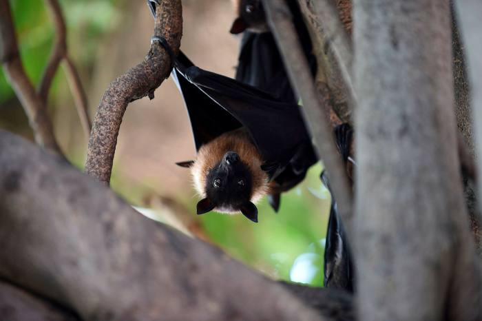 Coronaviruses have been evolving in bats for thousands or millions of years