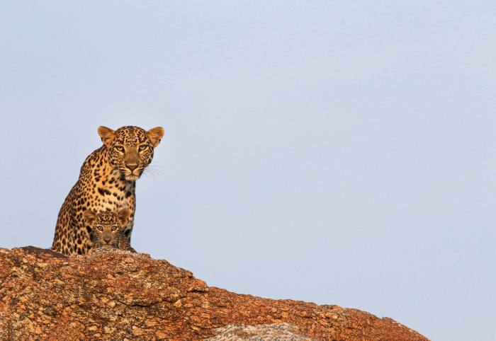 A leopard and her cub in the Suján conservation project