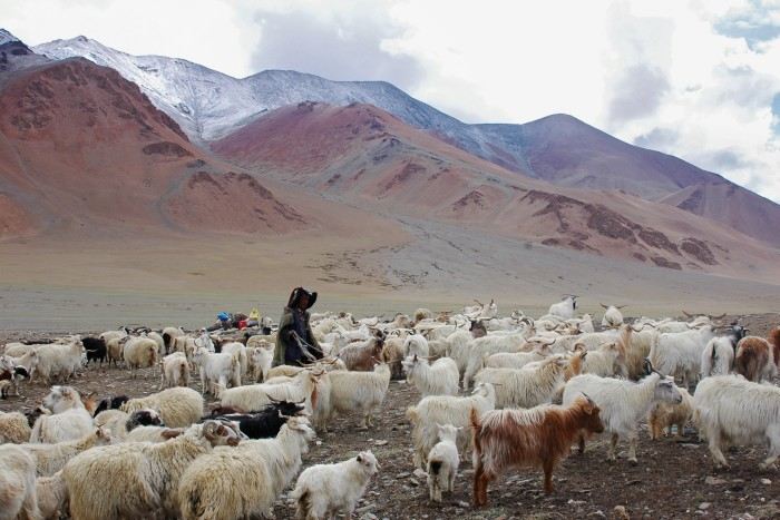 Only wool from Changthangi goats is used for the authentic Kashmiri shawl