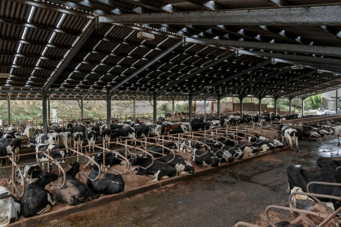 Dairy cows at milking stations