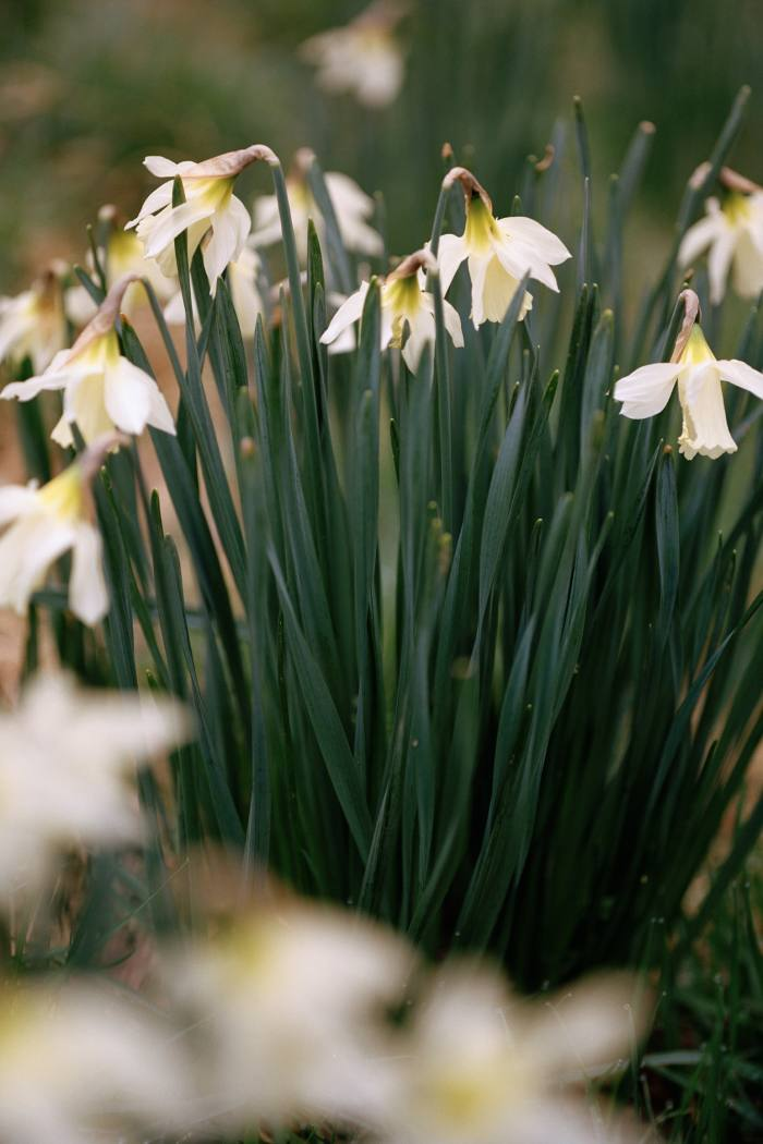 The swan's neck daffodil, Narcissus moschatus